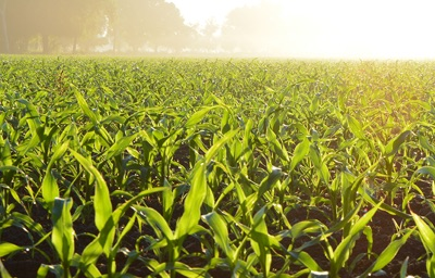 Image of a Corn Field